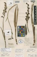 Isolectotype of Thelymitra grandiflora Fitzg. [family ORCHIDACEAE]