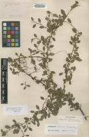 Type of Cotoneaster radicans (C.K.Schneid.) G.Klotz [family ROSACEAE]