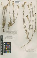 Syntype of Dianthus pallens Boiss. var. oxylepis [family CARYOPHYLLACEAE]