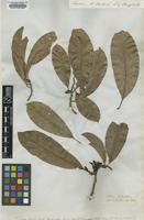 Type of Michelia oblonga Wall. ex Hook.f. & Thomson [family MAGNOLIACEAE]