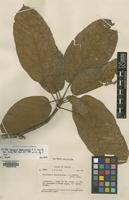 Isotype of Sterculia megalocarpa A.C.Sm. [family STERCULIACEAE]
