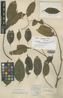 Holotype of Lecythis coxiana Miers [family LECYTHIDACEAE]