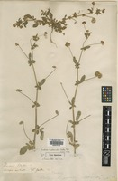 Type of Medica hispanica Mill. [family FABACEAE]