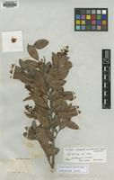 Isotype of Gomphia pinetorum C.Wright ex Griseb. [family OCHNACEAE]