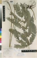 Type of Pteris acanthoneura Alston [family PTERIDACEAE]