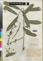 Holotype of Chytranthus angustifolius Exell [family SAPINDACEAE]