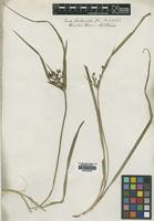 Type of Cyperus tetraphyllus R.Br. [family CYPERACEAE]