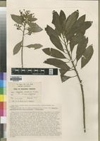 Type of Stapfiella usambarica J.Lewis [family TURNERACEAE]