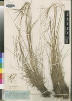 Type of Digitaria nardifolia Stapf [family POACEAE]