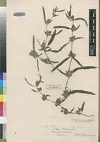 Type of Dicliptera swynnertonii S.Moore [family ACANTHACEAE]