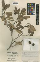 Holotype of Buchenavia pterocarpa Exell & Stace [family COMBRETACEAE]