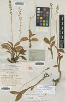 Lectotype of Microstylis polyphylla Ridl. [family ORCHIDACEAE]