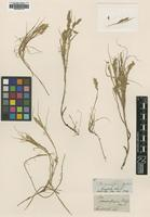 Type of Poa ramosissima Hook.f. [family POACEAE]