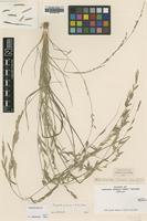 Type of Poa pubescens R.Br. [family POACEAE]
