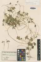 Isotype of Bowlesia acutiloba H.Wolff [family APIACEAE]