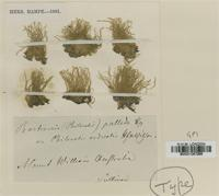 Type? of Bartramia pallida Hampe [family BARTRAMIACEAE]