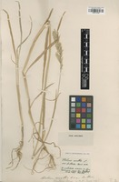 Type of Holcus reuteri Boiss. [family POACEAE]