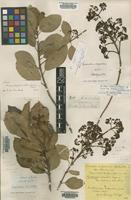 Syntype of Cornidia integerrima Hook.& Arn. [family HYDRANGEACEAE]