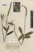Holotype of Habenaria grandis Benth. & Ridl. [family ORCHIDACEAE]
