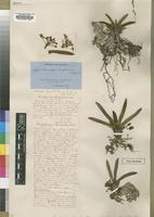 Type of Listrostachys dactyloceras Rchb.f. [family ORCHIDACEAE]