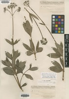Isotype of Borreria centranthoides Chodat & Hassl. f. glabrior [family RUBIACEAE]