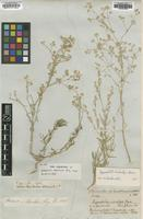 Type of Gypsophila eriocalyx Boiss. [family CARYOPHYLLACEAE]