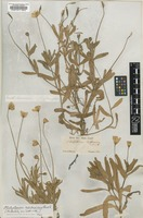 Isotype of Platystemon californicus Benth. [family PAPAVERACEAE]