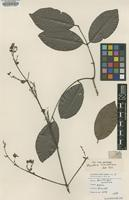 Isotype of Banisteria blanchetiana Adr.Juss. [family MALPIGHIACEAE]