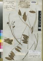 Isotype of Andira grandiflora Guill., Perr. & A.Rich. [family LEGUMINOSAE]