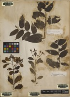 Filed as Celtis orientalis L. [family ULMACEAE]