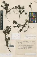 Holotype of Neopicrorhiza tibetica R.R.Mill ssp. phalacrochila [family SCROPHULARIACEAE]