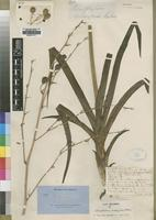 Type of Chlorophytum andongense Baker [family ANTHERICACEAE]
