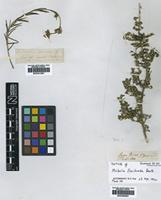 Type of Mirbelia floribunda Benth. [family LEGUMINOSAE]
