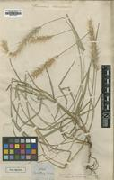 Holotype of Gymnotrix complanata Nees [family POACEAE]