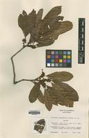 Isotype of Micropholis guatemalensis Lundell [family SAPOTACEAE]