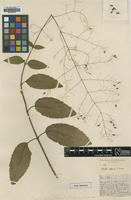 Type of Hyptis effusa S.Moore [family LAMIACEAE]