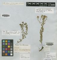 Isotype of Aster oblongifolius Nutt. [family ASTERACEAE]