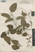 Isotype of Dioscorea abyssinica Hochst. ex Kunth [family DIOSCOREACEAE]