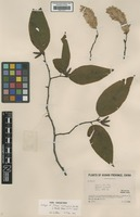 Isotype of Ostrya multinervis Rehder [family BETULACEAE]