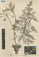 Filed as Carum indet. [family APIACEAE]