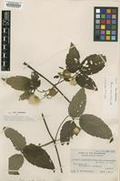 Isotype of Clematis leschenaultiana Merr. var. subglabrifolia [family RANUNCULACEAE]