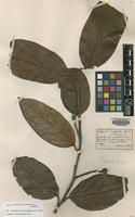 Type of Nectandra crassifolia Benth. [family LAURACEAE]