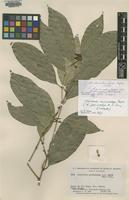 Isotype of Heisteria parvicalyx A.C.Sm. [family OLACACEAE]