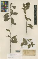 Isotype of Samyda mexicana Rose [family FLACOURTIACEAE]