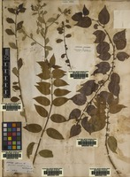 Lectotype of Asclepias lactifera L. [family APOCYNACEAE]