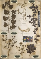 Lectotype of Trigonella indica L. [family FABACEAE]