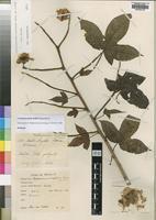 Bixaceae - Wikidata