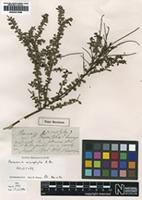 Holotype of Persoonia microphylla R.Br. [family PROTEACEAE]