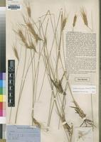 Type of Trichopteryx densispica Rendle [family POACEAE]