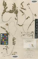 Type Of Abrus Cantoniensis Hance Family Leguminosae On Jstor